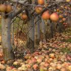 Fruit remaining on trees or on the ground through winter may be a source of primary infection and...