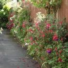Fuchsias will benefit from a top-dressing of compost or old animal manure.