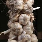 Garlic is one of the few veges planted in winter. Photo by Gillian Vine.
