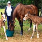 Gayle Lawrie with the twin foals Holly (left) and Rio that her 14-year-old thoroughbred horse...