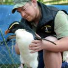 Glen Riley with an injured penguin which has been recovering at Penguin Place on Otago Peninsula....