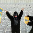 Gorillas get ready for the Highlanders season at the new zoo section at the Forsyth Barr Stadium...