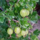 Grow gooseberries in an open, sunny part of the garden where the soil does not dry out.