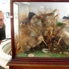 Hayward Auction House staff member Russell Knowles checks out a rare taxidermy native bird...
