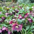 "Helleborus ""Flash Gordon"". Photo by Gerard O'Brien."
