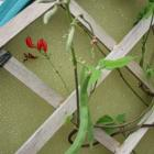 Runner beans can be sown now in a sunny spot. Photo by ODT.