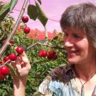 Hilary Chisholm inspects ripening cherries at her Waimate cherry orchard. Photo by Sally Rae.