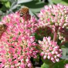 Honey bees flock to sedums.