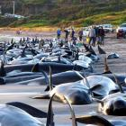 In this photo released by Naracoopa Holiday Cottages, nearly 200 whales and several dolphins are...