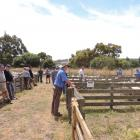 Instead of being crowded as in other years, the Waiareka Saleyards were all but deserted for the...