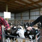 Jason Kelly (11) and mother Katrina Kelly, of Kailey Dairies, Ardgowan, give their calves, born...