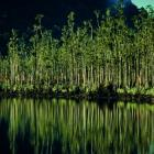 Kahikatea forest on the shore of Lake Wahapo, South Westland, in an image from <i>New Zealand's...