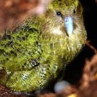 One of New Zealand's most endangered native birds. Photo by Stephen Jaquiery