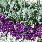 Kale grown with pansies in a flower bed. Photos by Gillian Vine.