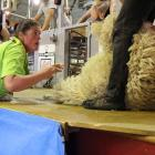 Keryn Herbert  is all concentration as she competes for the New Zealand Woolhandler of the Year...