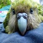 Kuia the kakapo laid three eggs near a seal colony, which proved to be a problem.  PHOTO: SUPPLIED