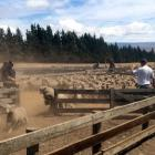 Lambs stir up dust in the yards at Stoneburn Station, inland from Palmerston yesterday, during an...