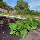 Lettuces loom large in the vegetable patch.