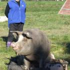 Linda McCallum-Jackson with a free-range sow and piglets at Havoc Farm near Waimate. Photo by...