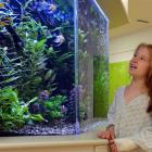 Maggie Hepburn (8), of Dunedin, enjoys the tropical fish tank in the children's ward at Dunedin...