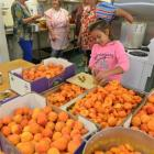 Maruia Vaitupu-Bachop (10), of Normanby, prepares hundreds of Central Otago apricots for jam and...