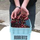 Matthew Ryley, of Earnscleugh, yesterday displays some freshly picked cherries grown on the H....