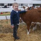 Meet my calf . . .Sam McGuigan (4), of Halswell, is proud of his two-month-old pet Ayreshire calf...