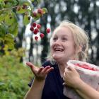 Melina Palmer (16), of Mosgiel, finds plenty to like about picking raspberries at the McArthur's...