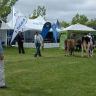Michael Gilbert (19), of Glenalla Stud, Winchmore, assesses dairy cattle in the Canterbury A&P...