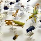 More than 800 bug items from Otago Museum's own collection will be on display during the six...