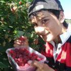 Nick Korkou (14) picks raspberries at Keens Berry Farm at Papakaio yesterday. Photo by Sally Rae.