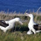 Northern royal albatrosses at Taiaroa Head, like those in this photo, got through Monday's heat...