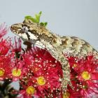 The forest gecko (Mokopiriakau granulatus) is one of many animals that make use of rata nectar,...