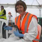 Oamaru woman Sue Downton feeds a little blue penguin in a Mount Maunganui wildlife treatment...