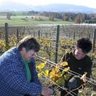 Jude Sparks (left) and Pam Sinclair, both of Kurow, yesterday help complete  the grape harvest at...