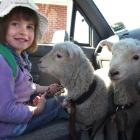 Olivia Hamilton (4) was minding her sisters' lambs Minnie and Maisy on the drive to the Five...