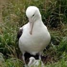 One of a female pairing of albatrosses keeps a close eye on a chick, hatched a fortnight ago, at...
