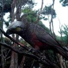 One of Mr and Mrs Roto's 3-month-old kaka fledglings at Orokonui Ecosanctuary. Photo by Orokonui...