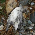 One of the endangered native gulls found dead on Grovers Island, near Roxburgh. Photo supplied.