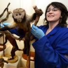 Otago Museum design services co-ordinator Rebecca McMaster positions a tufted capuchin, a monkey...
