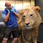 Otago Museum production and projects officer Garry Gibson feigns fear and surprise yesterday as...