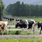 otago_now_has_5_of_the_national_dairy_cow_herd_pho_50b1c8a21b.JPG