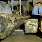 Otago Settlers Museum curator Peter Read with lengths of timber found during an archaeological...