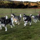 Otago Sled Dog Racing Association president Nigel Voice runs his dogs in a vineyard sled dog...