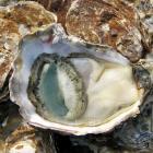 oyster-wiki.jpg