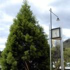 The sequoia by the clock tower in the Palmerston town centre was planted at the time of the...