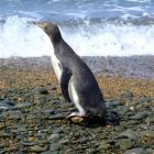 Percy the yellow-eyed penguin heads for the sea at Bushy Beach.  Photo by Sally Rae.
