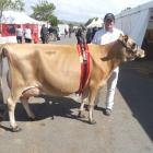 Peter Hansen and his 4-year-old Jersey cow Lilac Grove Prides Ringlet had a successful time at...