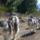 Philip and Shona Somerville are transported through Naseby Forest by ''musher'' Nigel Voice and...
