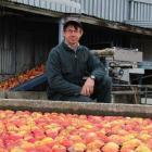 Pipfruit New Zealand director and Teviot orchardist Stephen Darling keeps an eye on some Royal...